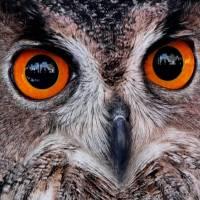 Los ojos del búho real: el señor de la noche (Soledad Carpintero)