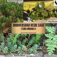 BIODIVERSIDAD DESDE CASA - FLORA URBANA II