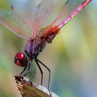 La libélula violeta (S. Carpintero)