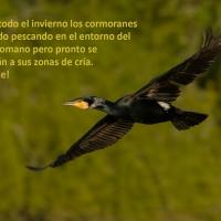 Cormoranes en los Sotos de la Albolafia